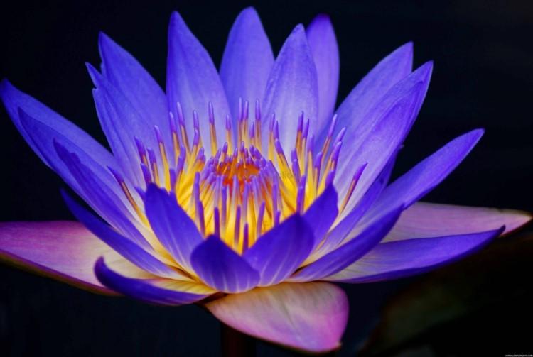 significato fiore di loto