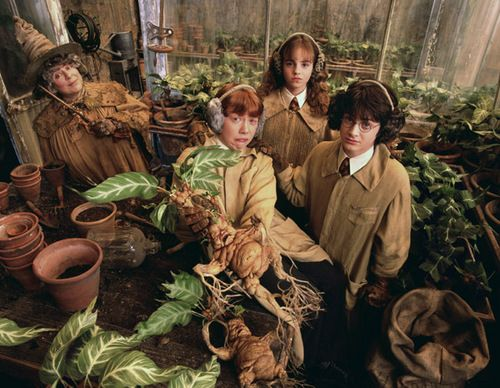 mandragole harry potter