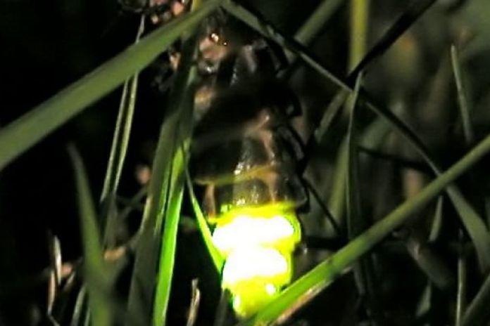 lucciola insetto
