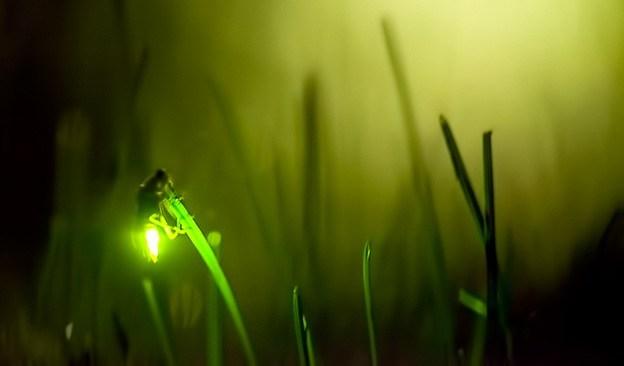 lucciole immagini