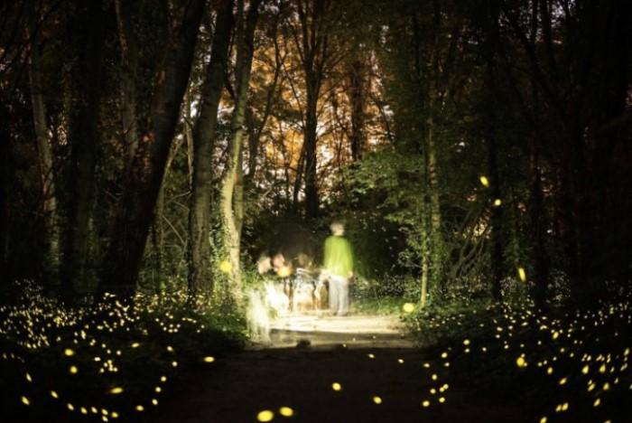 lucciole insetti luminosi