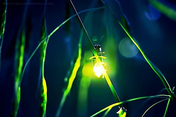 lucciole insetti